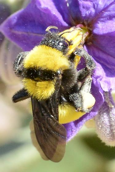 Which Bumble Bee? - Bombus sonorus