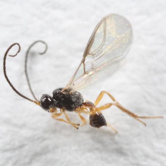 Winterberry leafminer parasitoid - Chorebus