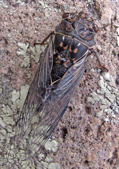 Cicada - Hadoa duryi