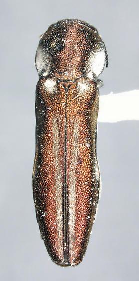 Agrilus felix Horn 1891 - Agrilus blandus