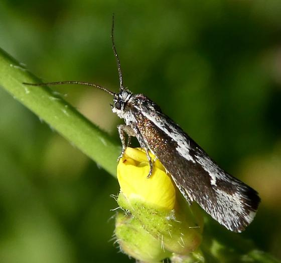 Moth - Ethmia brevistriga