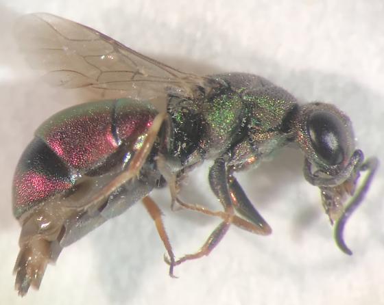 Chrysid wasp