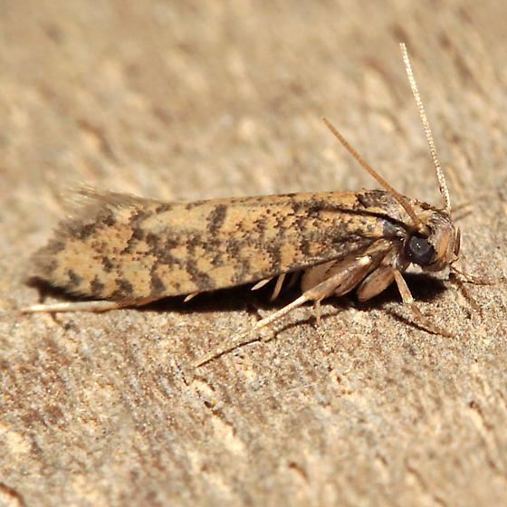Cephitinea obscurostrigella