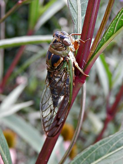 Cicada in Mexican petunias - Neotibicen davisi