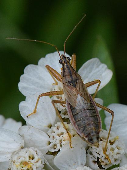 plant bug? - Nabis flavomarginatus