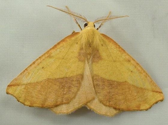 1833 Sicya crocearia 6911 - Sicya - male