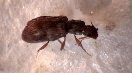 Brown Scavenger beetle - Lathridiidae - Cartodere