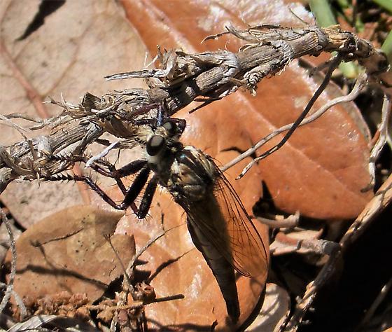 Robberfly, Asilidae