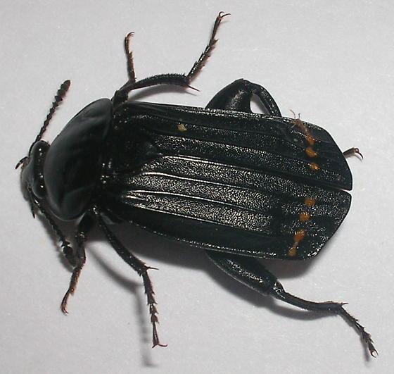 Identified: - Necrodes surinamensis