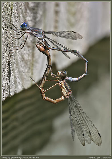Sweetflag Spreadwing (Lestes forcipatus)  in mating wheel - Lestes forcipatus - male - female