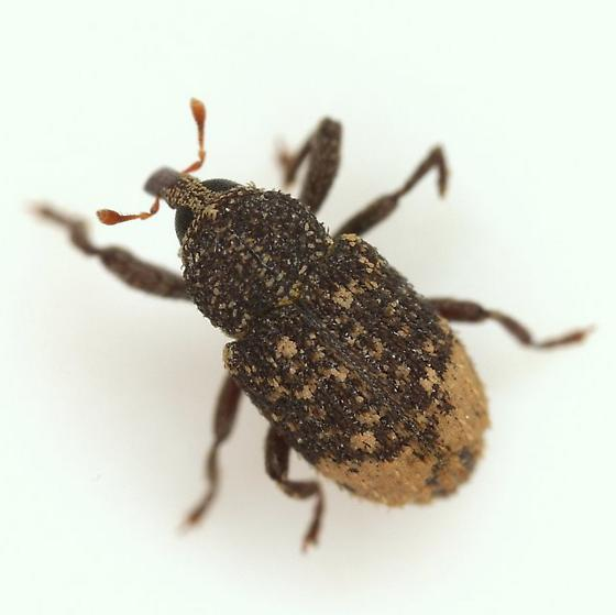 Apteromechus