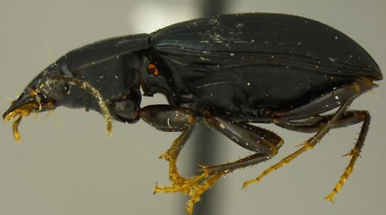 Oodinus alutaceus - female