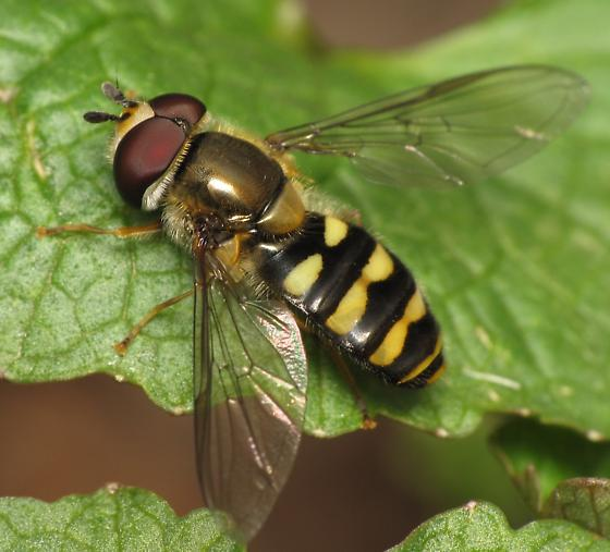 Eupeodes americanus? - Eupeodes - male