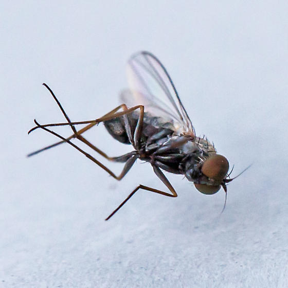 long-legged fly - Medetera - male
