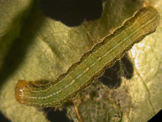 2nd instar - Mamestra configurata
