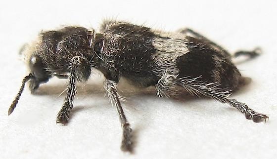 Red-bellied Clerid Beetle - Enoclerus sphegeus