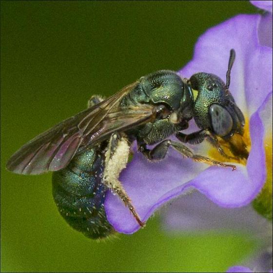 Halictinae, Sweat Bee ID please - Ceratina - female