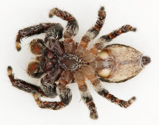 Habitus, ventral view - Evarcha hoyi - male