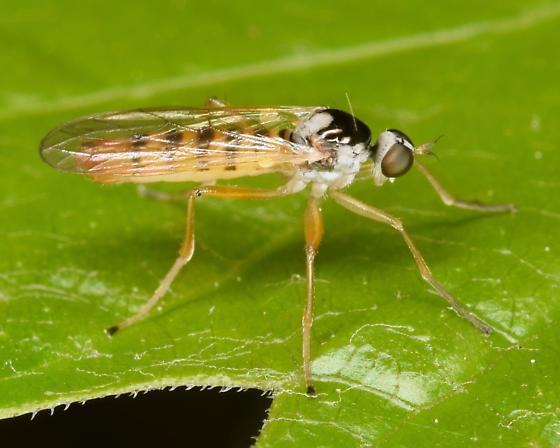 fly - Brachystoma robertsonii