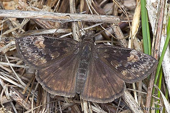 Duskywing Skipper - Erynnis lucilius - male