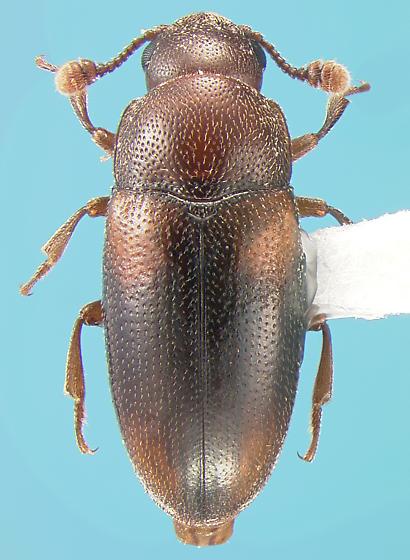 Erotylid - Dacne californica