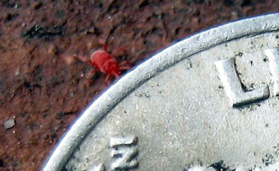 very, very tiny red bugs - Balaustium