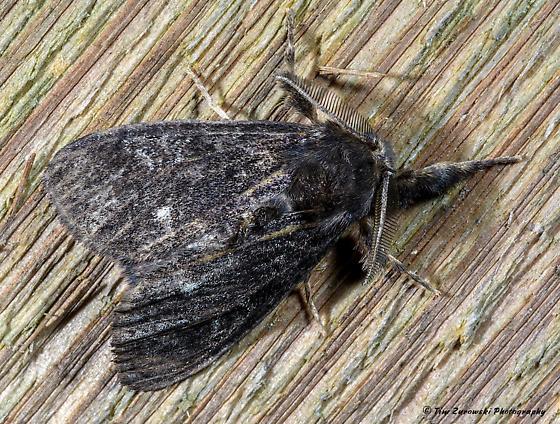 Unknown Moth - Dasychira grisefacta - male