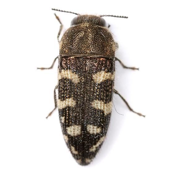 Acmaeodera bowditchi Fall - Acmaeodera bowditchi