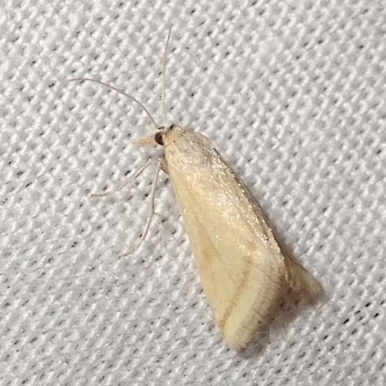 Pale Microtheoris vibicalis (Whip-marked Snout Moth) - Microtheoris vibicalis