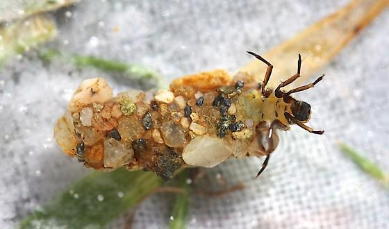 Neophylax consimilis