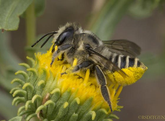 bee on sunflower august 7 - Megachile - female