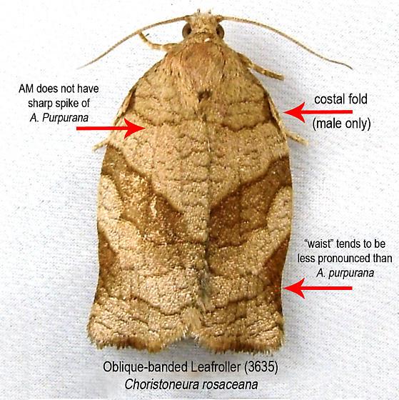Identification Key - Oblique-banded Leafroller (3635) - Choristoneura rosaceana - male