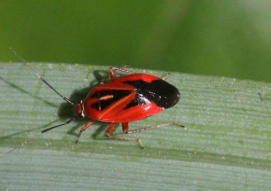 tomato red mirid - Metriorrhynchomiris dislocatus