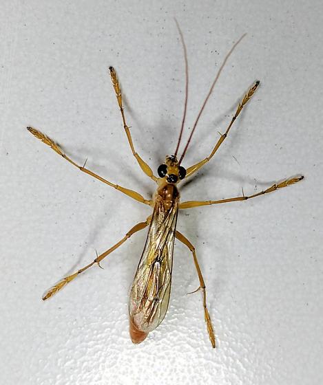 Wasp - Rhopalosoma nearcticum - female