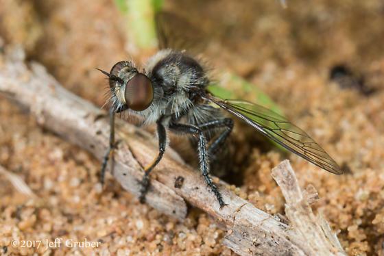 Asilid ovipositing - Holopogon - female