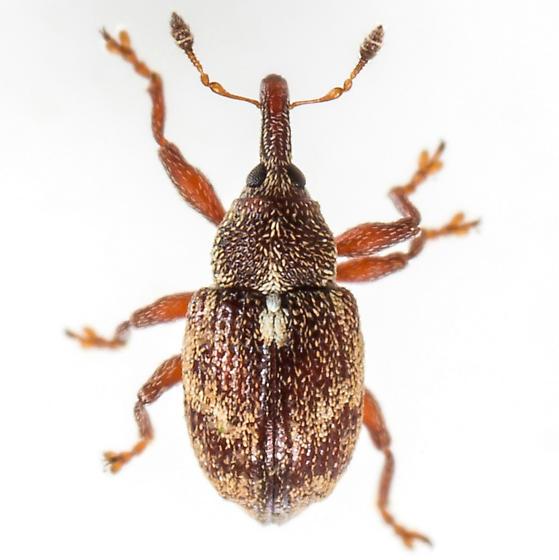 Weevil - Anthonomus rutilus