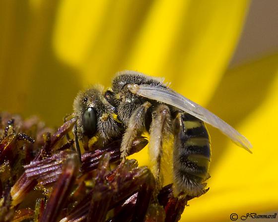 Small Bee on Helianthus - Perdita