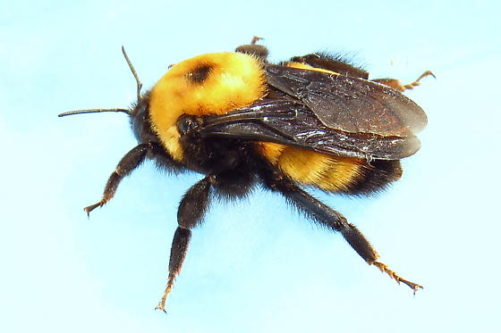 Nevada Bumblebee - Bombus nevadensis - female