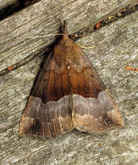 Gray-edged Bomolocha - Hypena madefactalis
