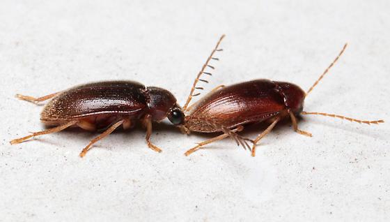 Ptilodactyla sp. - Ptilodactyla - male - female