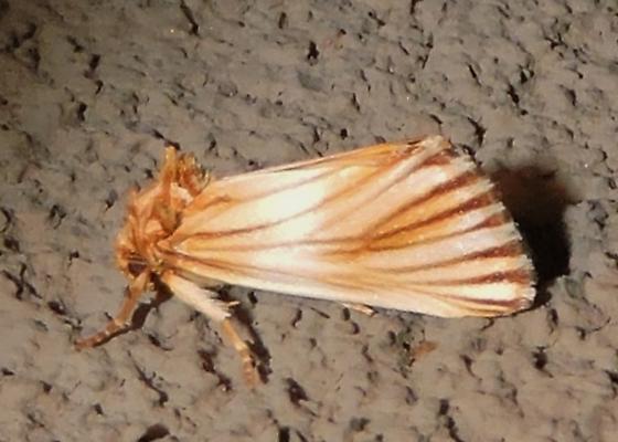 Eulithosia discistriga - Hodges#9769 maybe? - Eulithosia discistriga