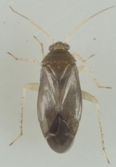 Unknown Miridae - Plagiognathus modestus