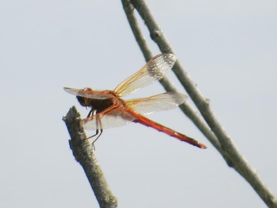 Meadowhawk? - Sympetrum costiferum