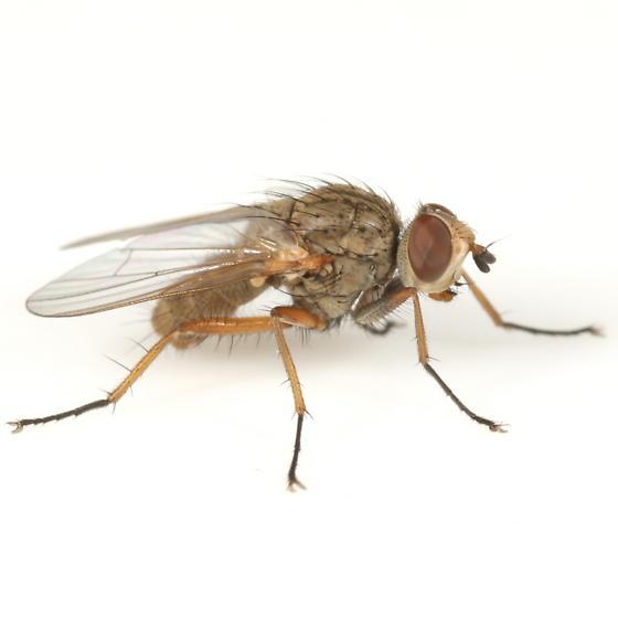 Pegomya betae - male