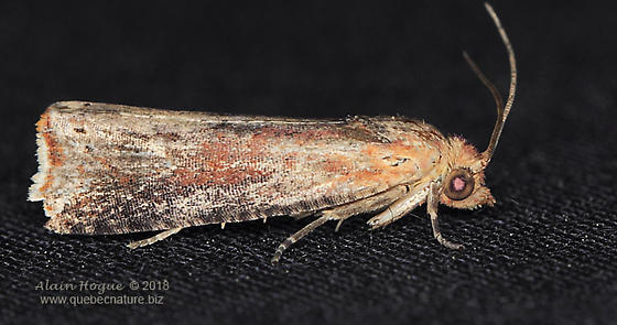 Tortricidae ? - Pseudogalleria inimicella