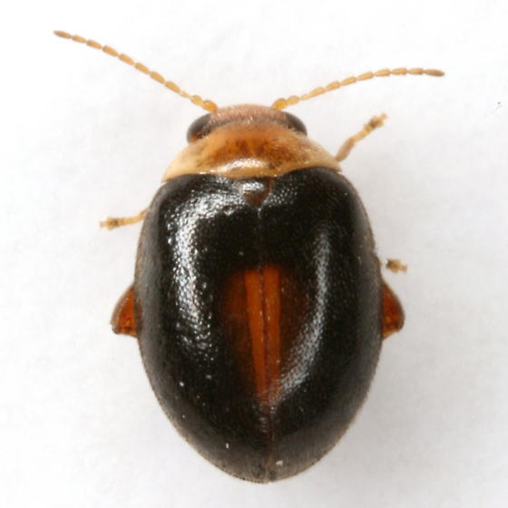 Scirtes orbiculatus (Fabricius) - Scirtes orbiculatus