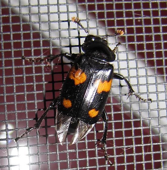 Nicrophorus sp. - Nicrophorus orbicollis - female