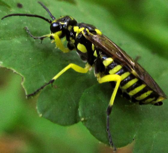 Sawfly (Tenthredinidae family) - Rhogogaster lateraria - female
