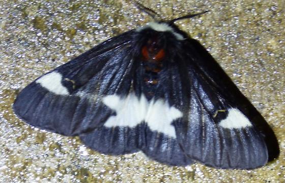 Hemileuca maiaBuck Moth - Hemileuca maia