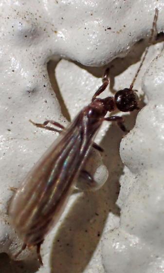 Alate termite with long antennae? - Oligotoma nigra
